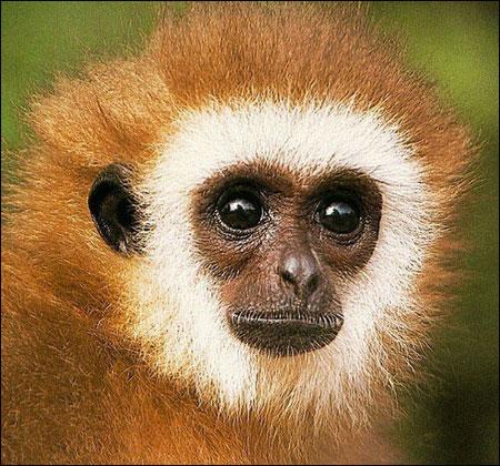 primate-wallpaper
